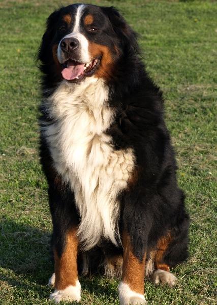chiens-Bouvier-bernois-f08a67ef-c6dd-72c4-f9fb-fdcce8498bae